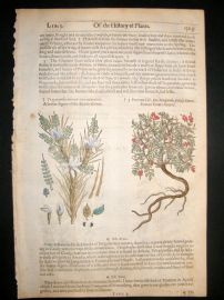 Gerards Herbal 1633 Hand Col Botanical Print. Egyptian & Goats Thorn